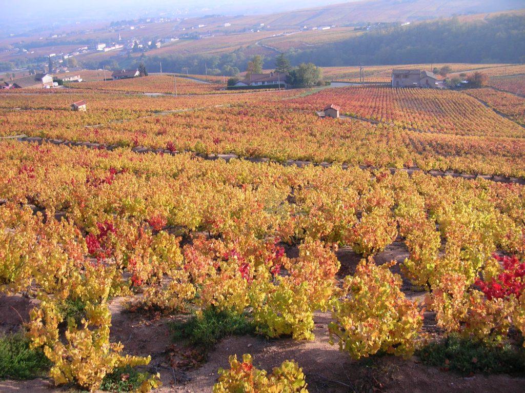 vigne de Moulin-A-Vent